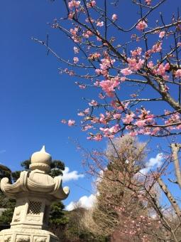 15 Hasedera Blossom